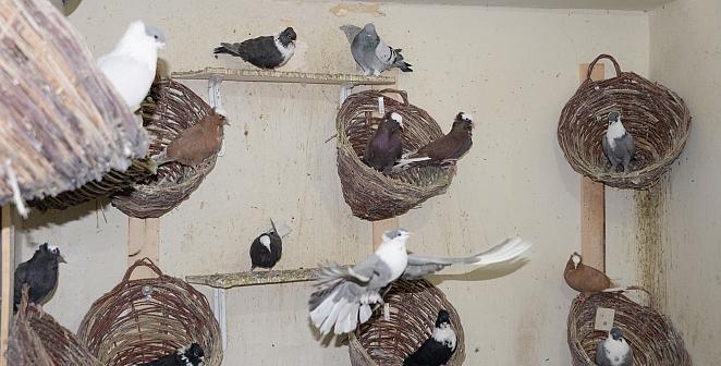Güvercin oteline yoğun talep