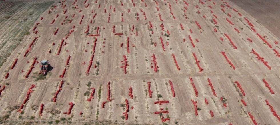 Başkent'te soğan hasadı başladı, tarlalar kırmızıya büründü