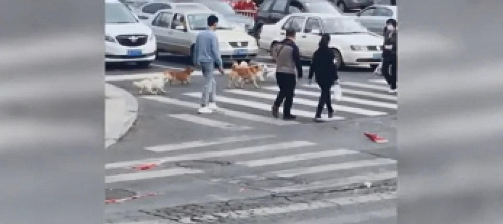 Çin'de köpeklerin karşıya geçmek için ışığı beklemeleri sosyal medyada ilgi gördü