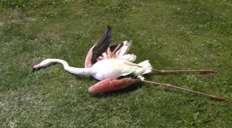 İzmir'de telef olan flamingoların ölüm sebebi belli oldu